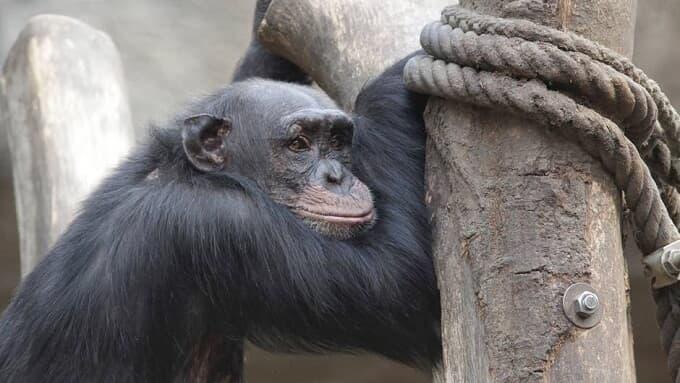 Mérito (!?!) do HC impetrado em favor de chimpanzé sai até amanhã